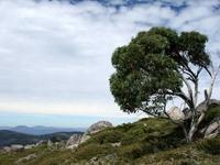 Eukalyptusträd